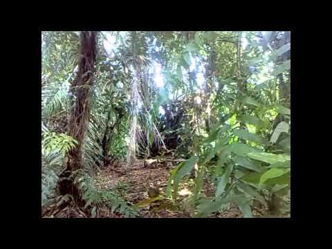 Ayam Hutan Pikat Betina 2 video