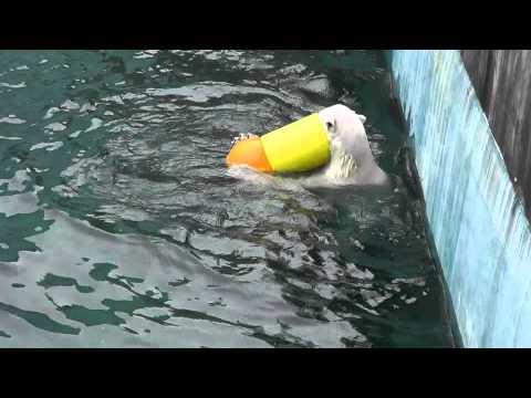 2011年7月24日 釧路市動物園 ホッキョクグマ ツヨシのプール遊び