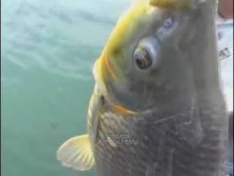 Ayrton pesca - Programa de pesca - Piavuçu - 6 - Veja mais! www.videospesca.com.br