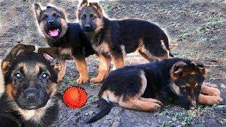 Зубастые Игры Щенков Немецкой овчарки. Funny Games German Shepherd puppies.