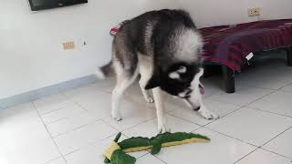 Manju the Husky Enjoying his New Squeaky Toy