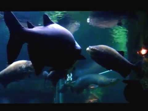 Zoo: Arapaima, Pacu, and Yellow-Spotted River Turtle (Amazonian Animals)