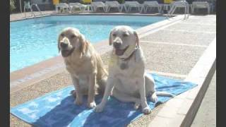 INDIA (Labrador) Y TOWANDA (Golden).avi