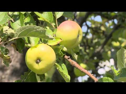 apple tree HD