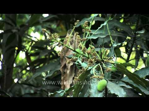 Mango trees (Mangifera indica)