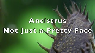 Ancistrus - Not Just a Pretty Face