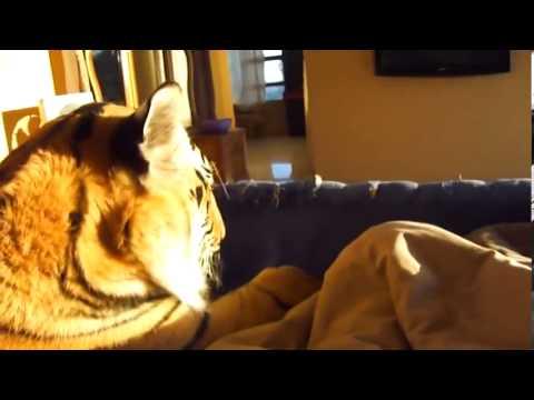 ручной тигр - Tiger manual