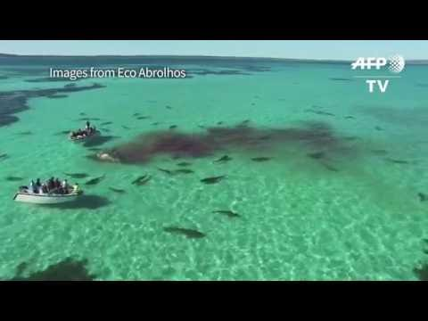 shark feeding frenzy |tiger sharks devour whale