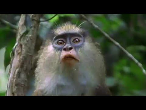 Leopard Monkey Alert! - Attenborough: The Life of Mammals - BBC