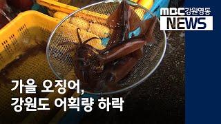 투R)강원 동해안 오징어 옛말, 하반기 어획량 주춤