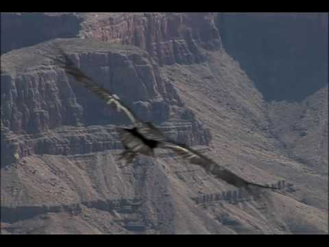 Condors - National Park Animals for Kids