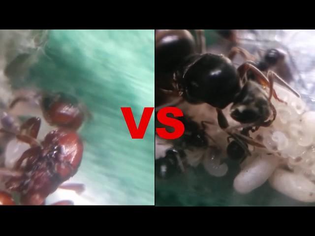 Mrówki vs mrówki - Gra o tron V - wojna mrówek