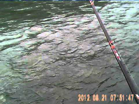 Large Sockeye Salmon caught in Terrace B.C. Aug.08.2012