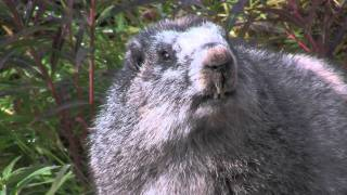 Dempster Highway and Tombstone Territorial Park (Part 4: Interview with a Marmot)