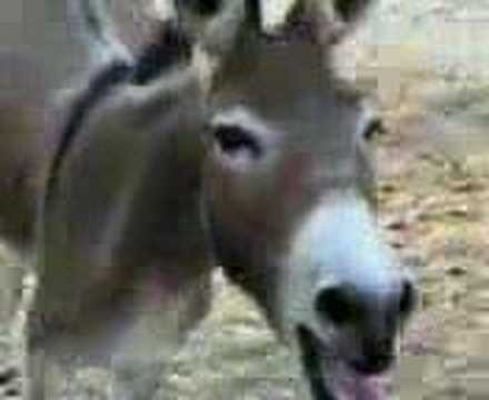 Donkey Laugh video