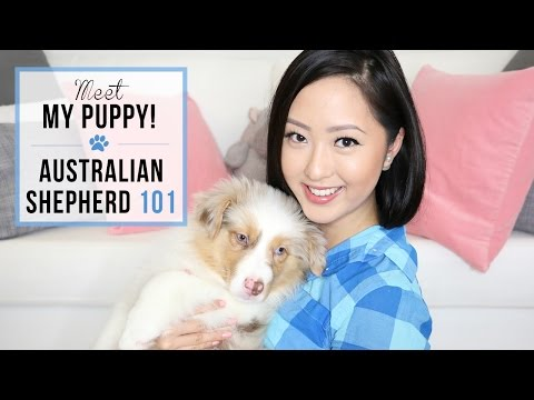 VLOG: Introducing Beau + Australian Shepherd 101 ♡