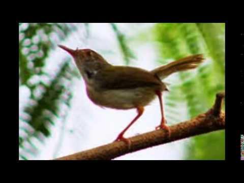 Kicau Burung Prenjak Jantan Rajin Gacor video