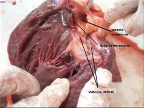 disección de corazón de vaca