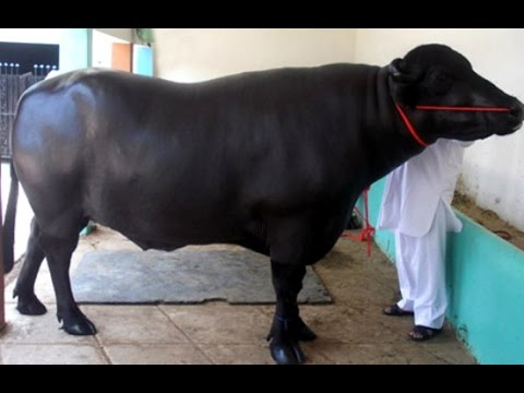 1400 kg giant bull Yuvraj crowned champion at Meeruts All India...