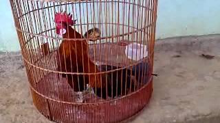 ayam brugo