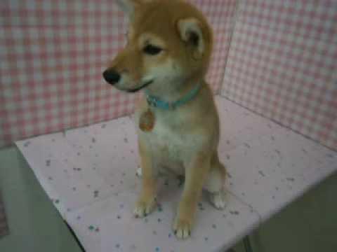 ペットショップCOO&RIKU 柴犬 287519