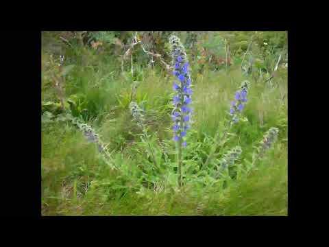 Natternkopf, Heilpflanze