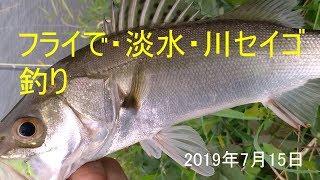 フライで・淡水・川セイゴ釣り 2019/7/15 デイゲーム