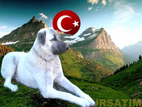 Turkish kangal$dogo argentino