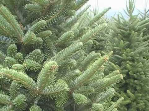 Fraser Fir Christmas Tree Farm - North Carolina - Cardinal Tree Farm