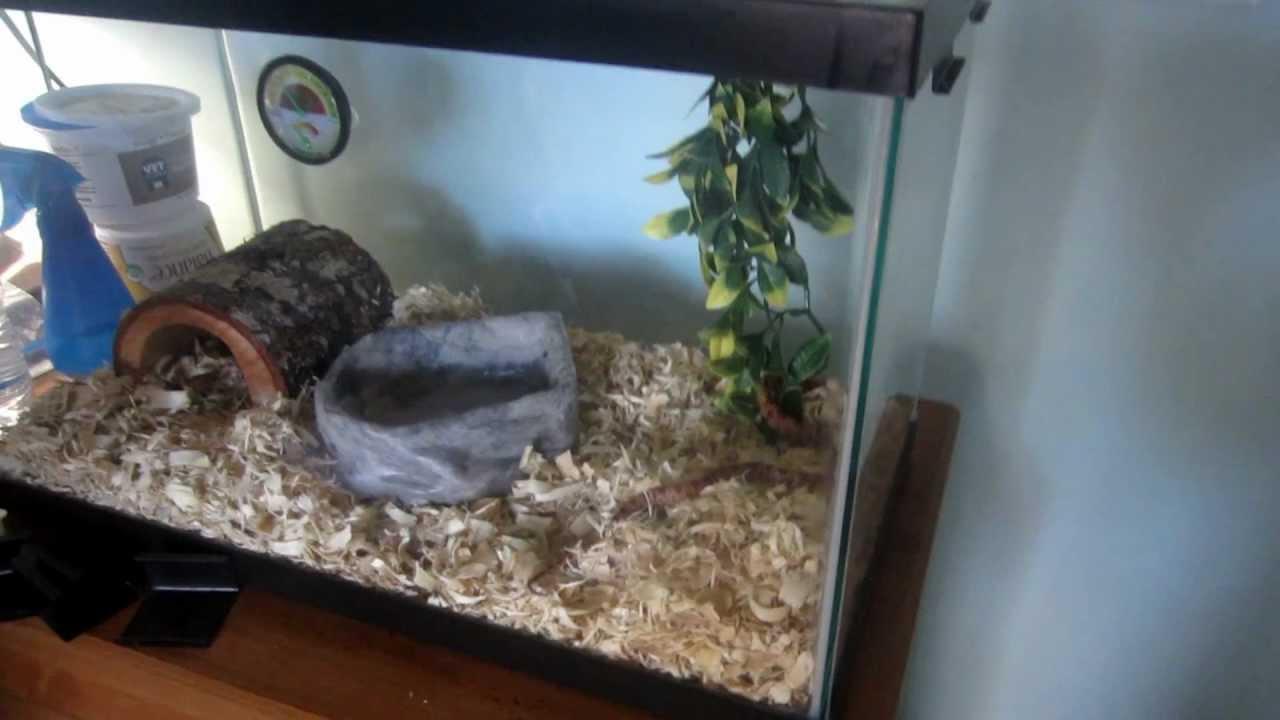 Lava Corn Snake Baby Baby Corn Snake Tank Setup
