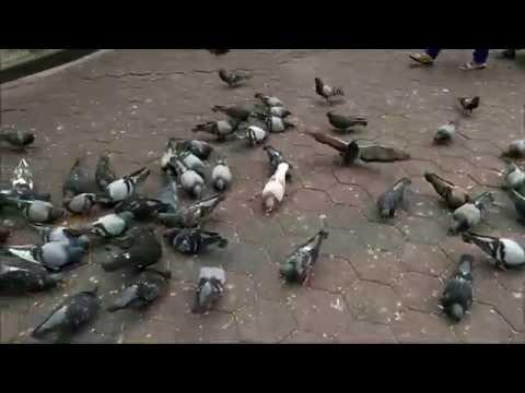 Merpati (Pigeon) di Batu Caves, Kuala Lumpur, Malaysia