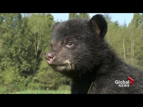 B.C. facility teaches orphaned bear cubs proper nutrition