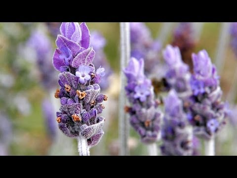 Healthy Herbs and Spices - Lavender