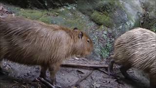 Capybara Rituals at Nagasaki Bio Park 2 長崎バイオパーク2でのカピバラ交配儀式