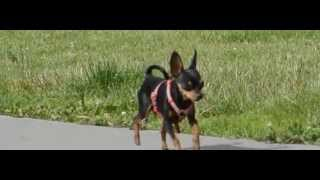 1 kg 3 y.o MinPin running in Slow Motion 400 fps Miniature Pinscher Toy Puppy