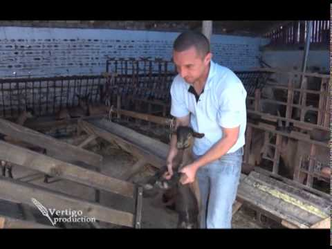 Uzgoj koza u selu Kumane   U nasem ataru 538