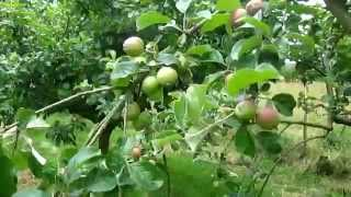 How to quickly increase Crop Production by thinning Apples