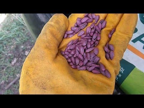 Сеем подсолнух 2018г. Сорт Эстрада и Белла. #СельхозТехника ТВ