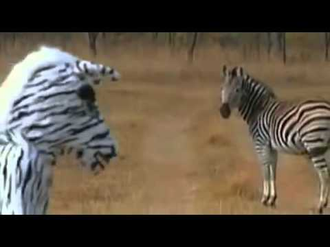 Lion Zebra Attack Zebra Suits Pride of Lions