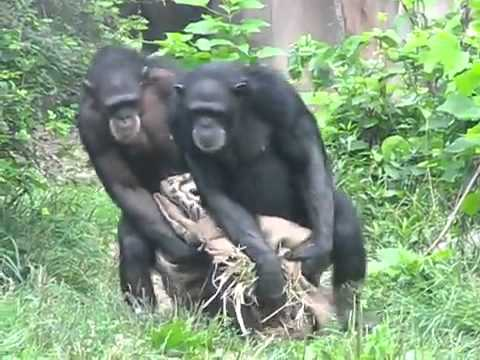 приколы с обезьянами видео: