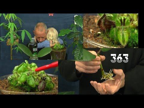 Gummibaum nach 6 Wochen bewurzelt und eingepflanzt. Auch etwas über Karnivoren