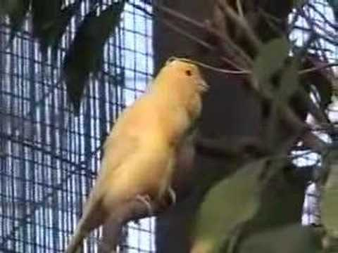 The Canary Aviary at the House that Contains Upwards of 50 Canaries Video