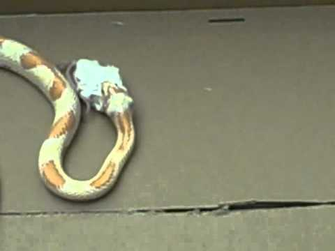 My Corn Snake Zeus Eating Mouse