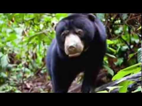 Bornean Sun Bear Conservation Centre (BSBCC) receives another 5 bears, Park plans sun bear release