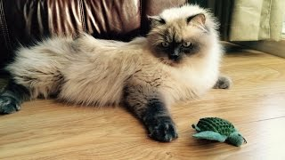 Funny Cat is playing with a Turtle Awesome video