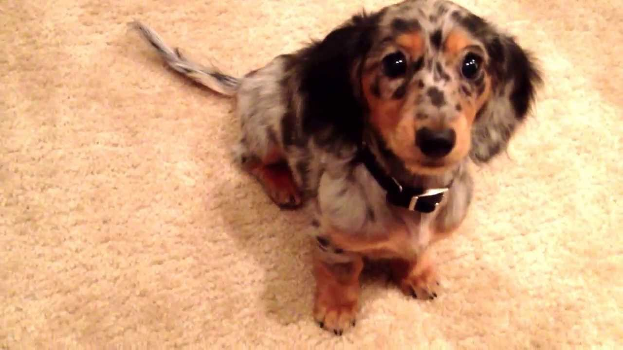 ... Dapple Miniature Dachshund Puppy Learns to Roll Over - YouTube