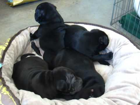French bulldog x Shar Pei