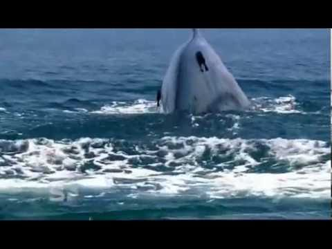 Worlds Largest Blue Whale colony - Discovered in Sri Lanka