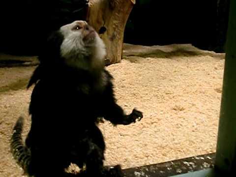 シロガオマーモセット・千葉市動物公園