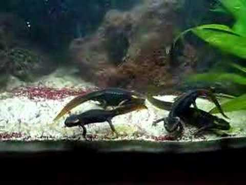 Tylototriton verrucosus dark form feeding Video
